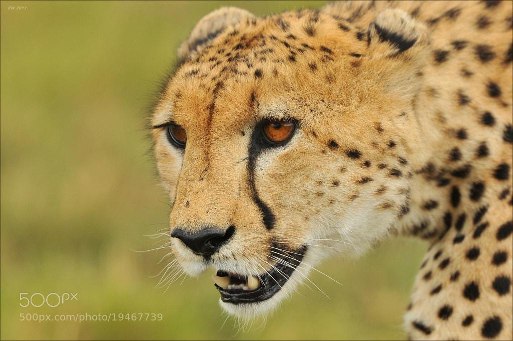 Photograph Cheetah! by Elmar Weiss on 500px