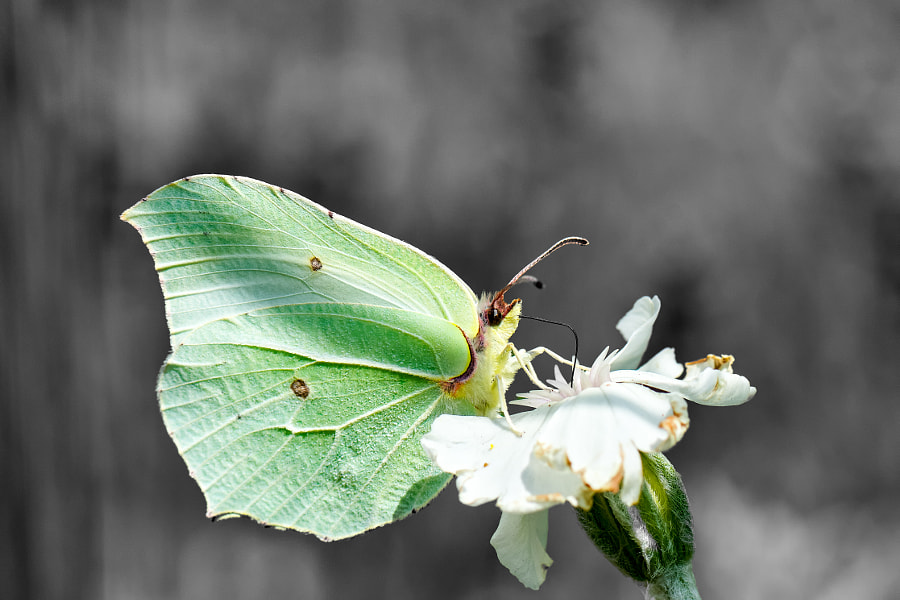 Brimstone Butterfly on Grey Background by Olaf Holland on 500px.com