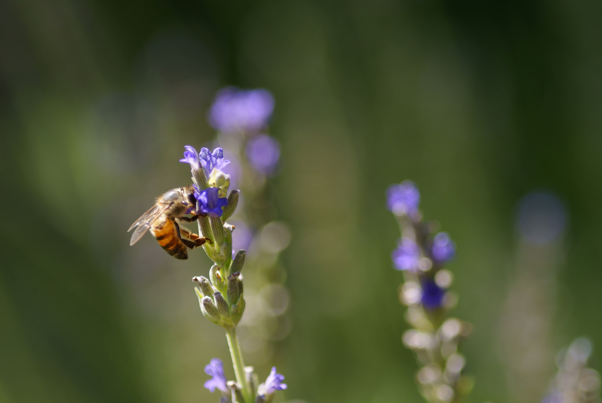 Photograph Lavender and the Bee by Lillian Arnold on 500px