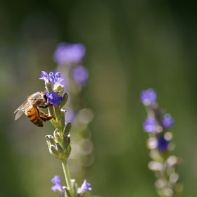 Lavender and the Bee by Lillian Arnold (LillianArnold)) on 500px.com