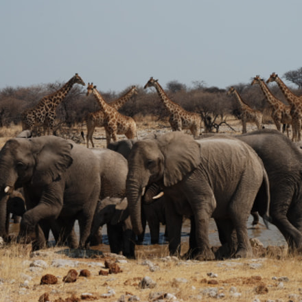 Elephants & Giraffes, Nikon D80, AF-S DX Zoom-Nikkor 18-135mm f/3.5-5.6G IF-ED