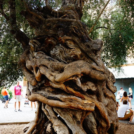 Centuries old olive tree, Sony SLT-A77V, Sony DT 18-135mm F3.5-5.6 SAM (SAL18135)