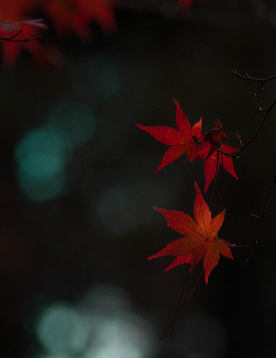 Photograph red leaves  by Mingda Jiang on 500px
