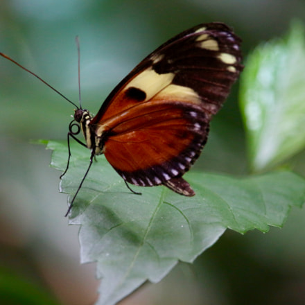 Butterfly, Canon EOS 700D, Canon EF-S 55-250mm f/4-5.6 IS STM