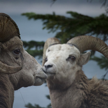 Big Horned Sheep, Canon EOS 70D, Canon EF-S 55-250mm f/4-5.6 IS STM