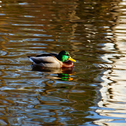 Duck in Vienna's Park, Sony SLT-A77V, Sony DT 18-135mm F3.5-5.6 SAM (SAL18135)