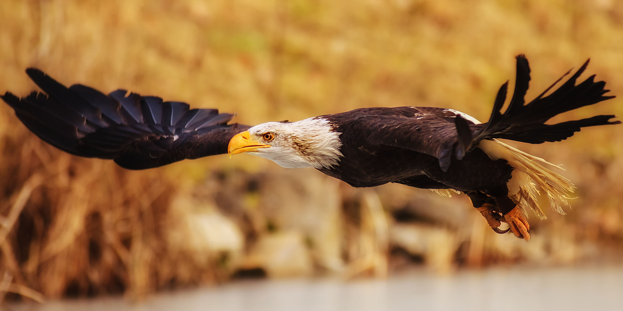 Photograph golden eagle by Stefan Betz on 500px