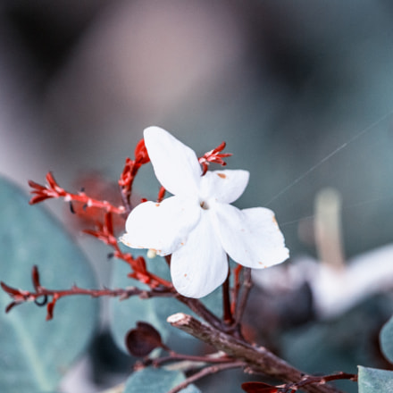 Jasminum, Canon EOS 700D, Canon EF-S 55-250mm f/4-5.6 IS STM