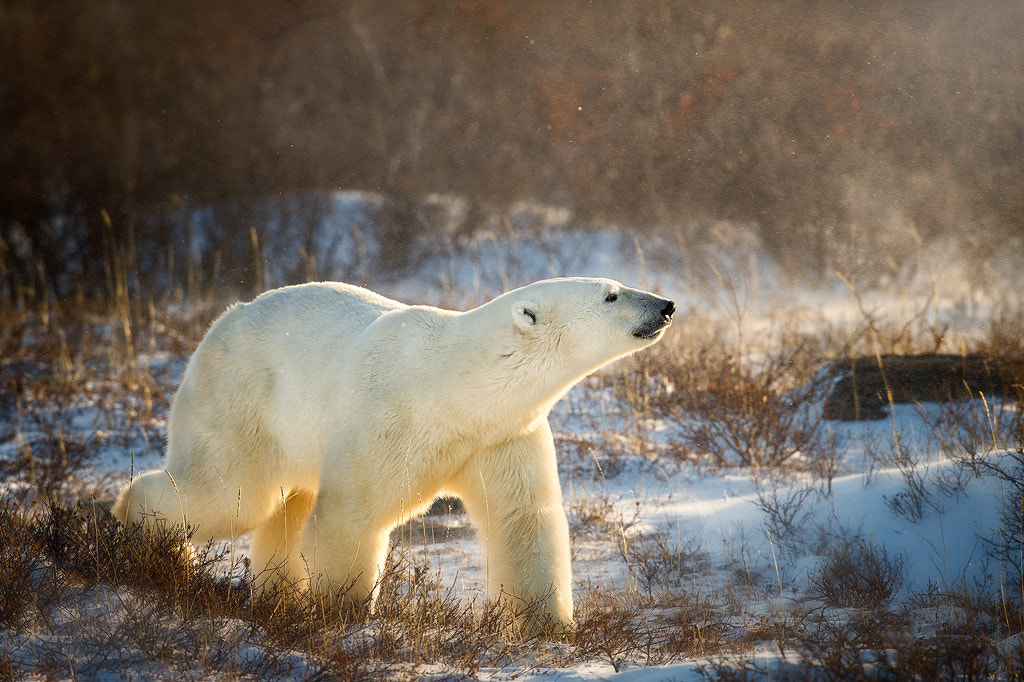 Photograph King Of The Arctic by Steve Perry on 500px