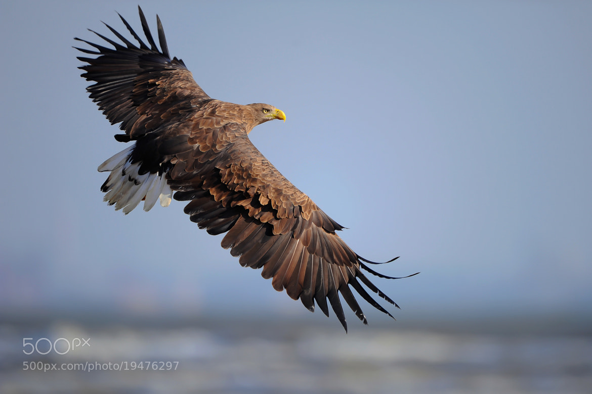 Photograph White-tailed Sea Eagle (白尾海雕) by yueren  on 500px