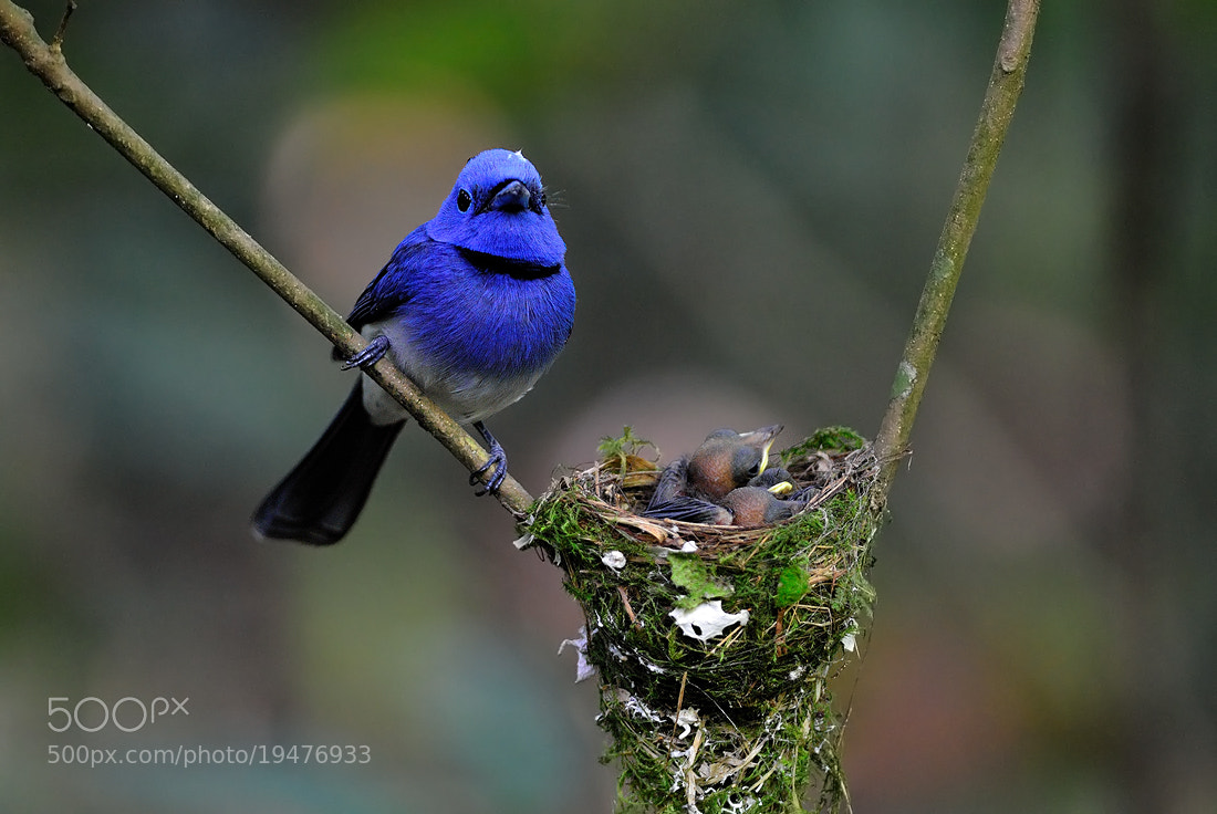 Photograph Black-naped Monarch (Hypothymis azurea)  by Tea Maeklong on 500px