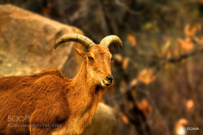 Photograph Bovine expression by Girish Arabale on 500px