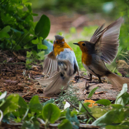 Robins Fight, Canon EOS 650D, Canon EF-S 55-250mm f/4-5.6 IS STM