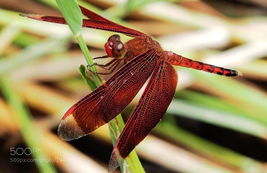 Photograph Dragonfly by Prabu dennaga on 500px
