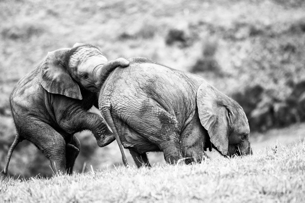 Photograph Young Elephants by Martín-Valle Fotógrafos on 500px