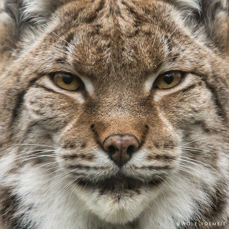 Photograph LYNX EYES by Wolf Ademeit on 500px