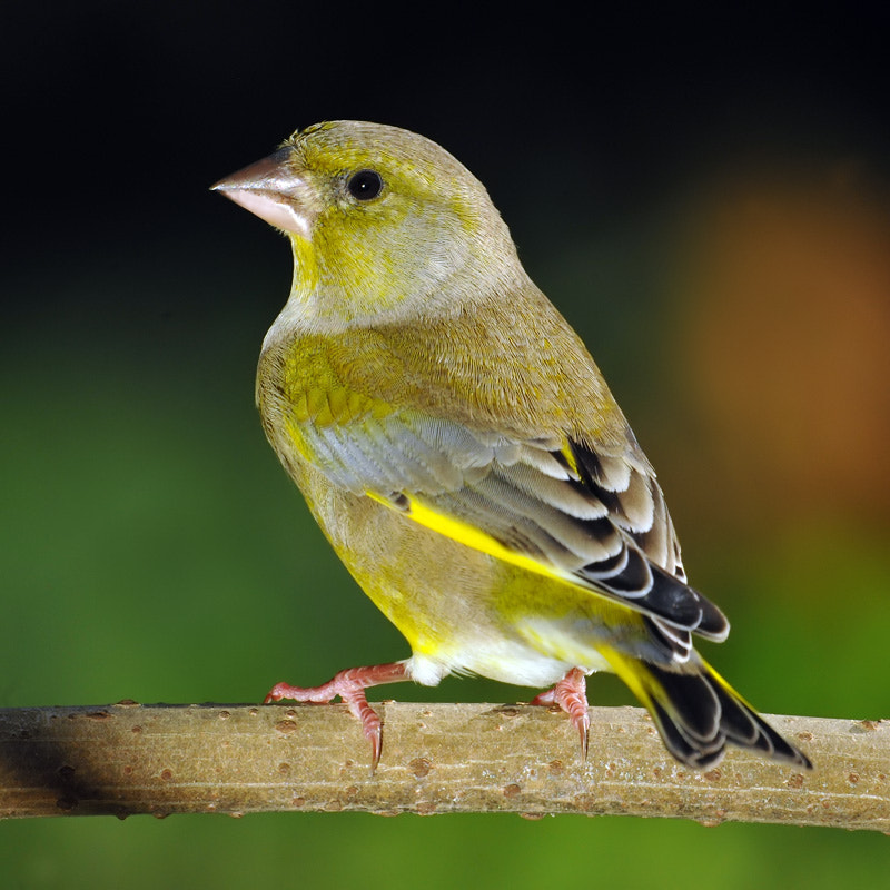 Photograph Carduelis chloris by Franco Mottironi on 500px