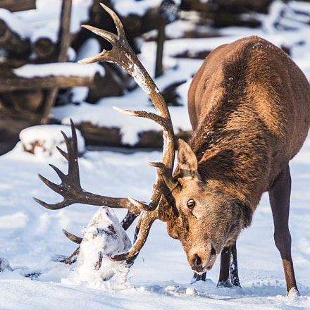 Red deer fights with a piece of wood