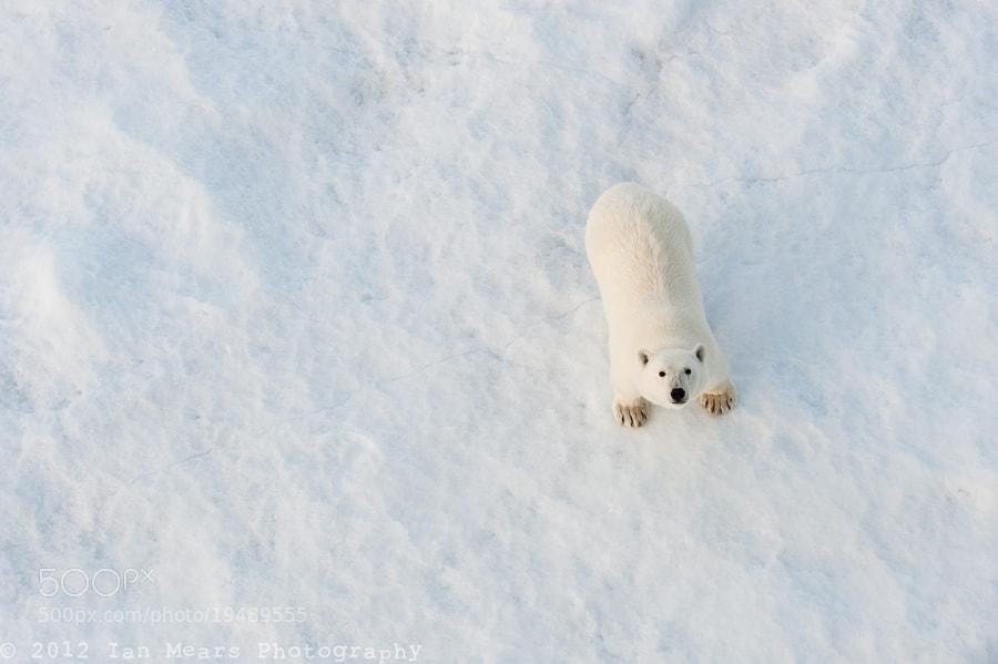 Photograph Polar Bear by Ian Mears on 500px