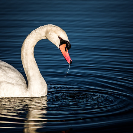 lonely swan, RICOH PENTAX K-1, smc PENTAX-DA* 200mm F2.8 ED [IF] SDM