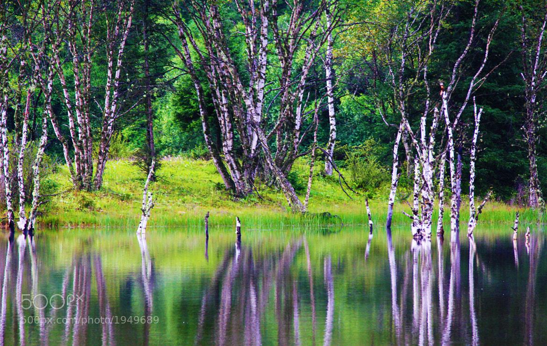 Photograph Russian birch in China by Evgeni (Евгений) Radko (Редько) on 500px