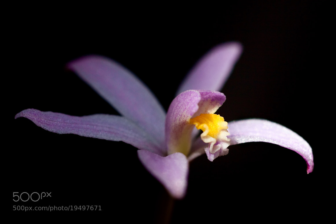 Photograph Laelia lilliputana by Cheype Sébastien on 500px