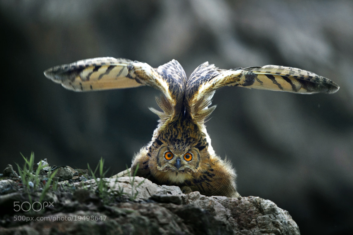 Photograph 雄视(雕鸮 Eurasian Eagle Owl) by yueren  on 500px
