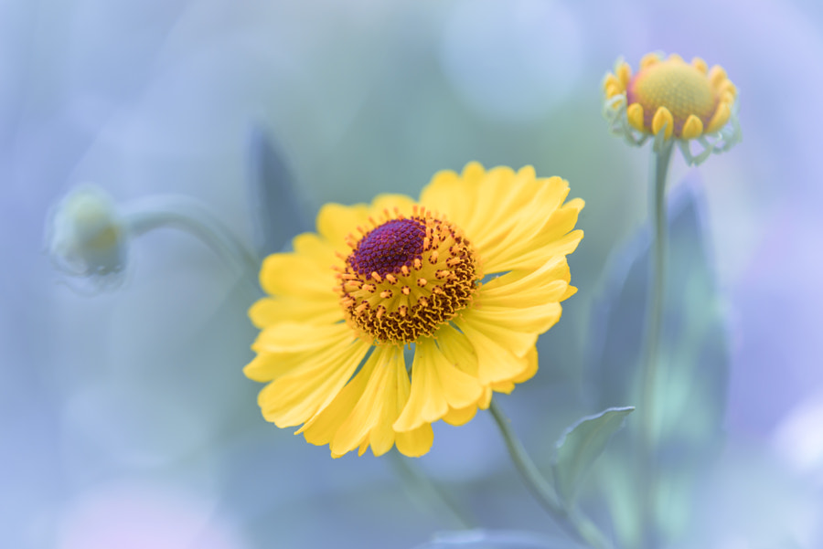 Helenium by L.th  on 500px.com