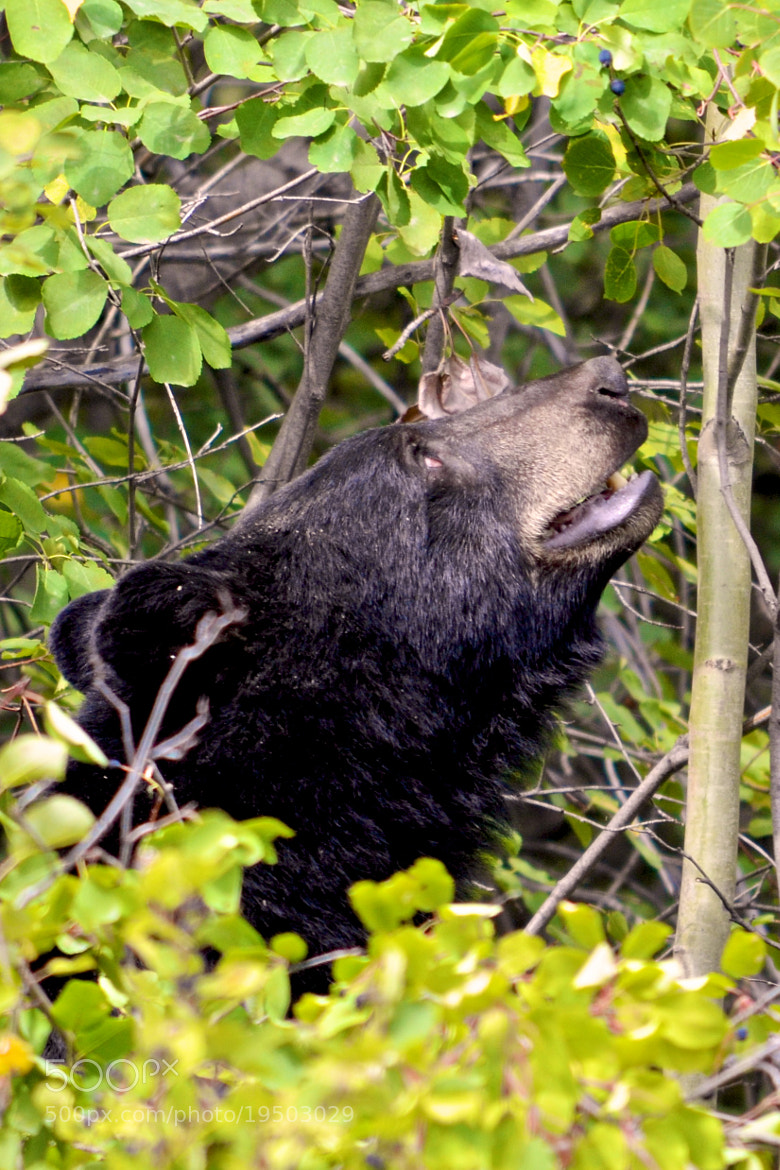 Photograph Hungry Bear by Shawn Franklin on 500px