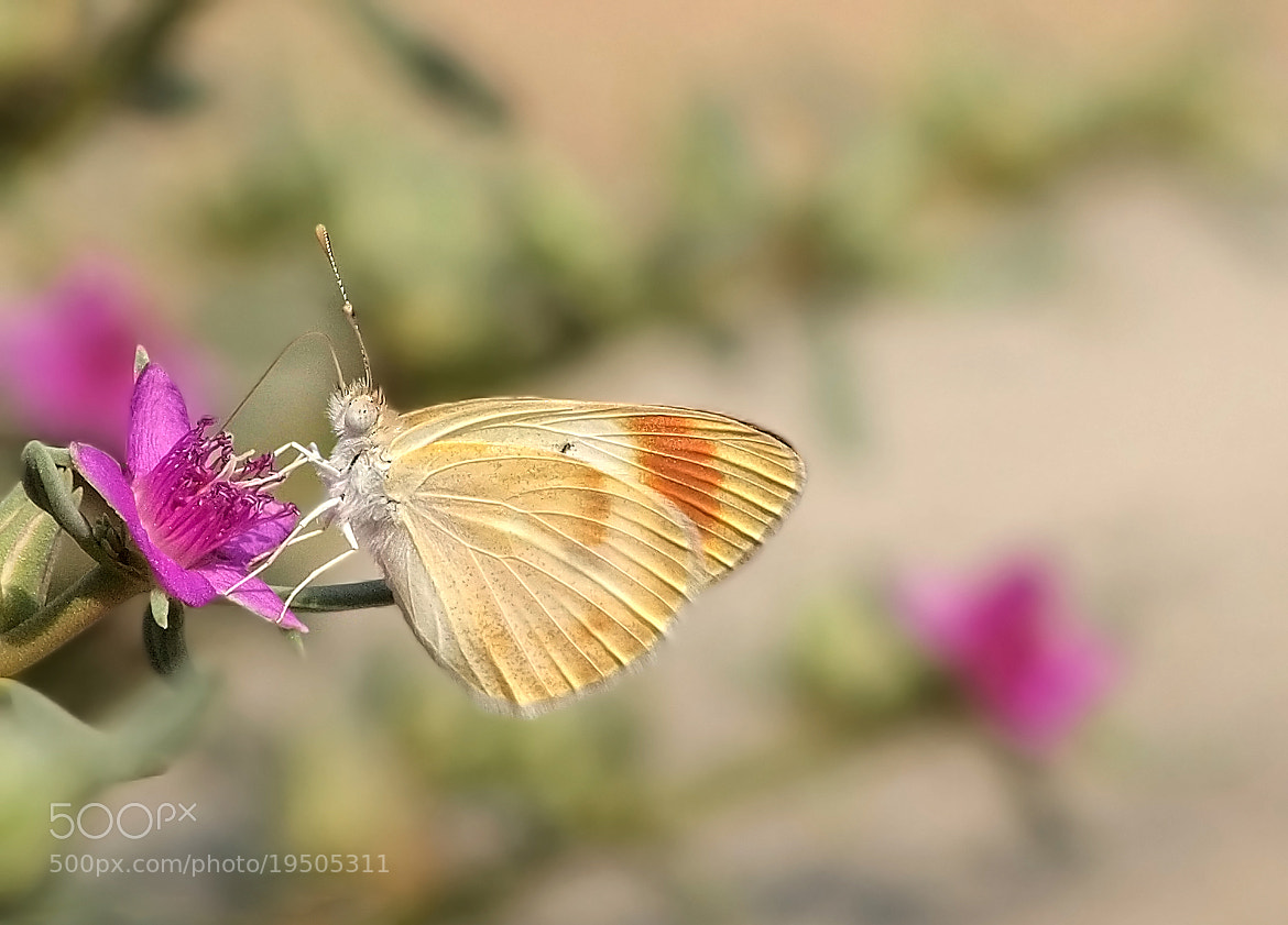 Photograph Orange tip butterfly by ammadoux doux on 500px