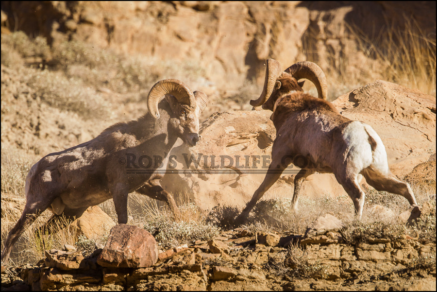 Photograph Ram Tough by RobsWildlife.com  - Rob Daugherty on 500px