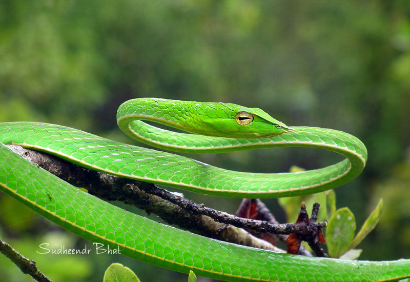 Photograph Green Snake-1 by Sudheendr Bhat on 500px