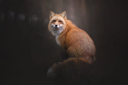 The Red Fox Portrait