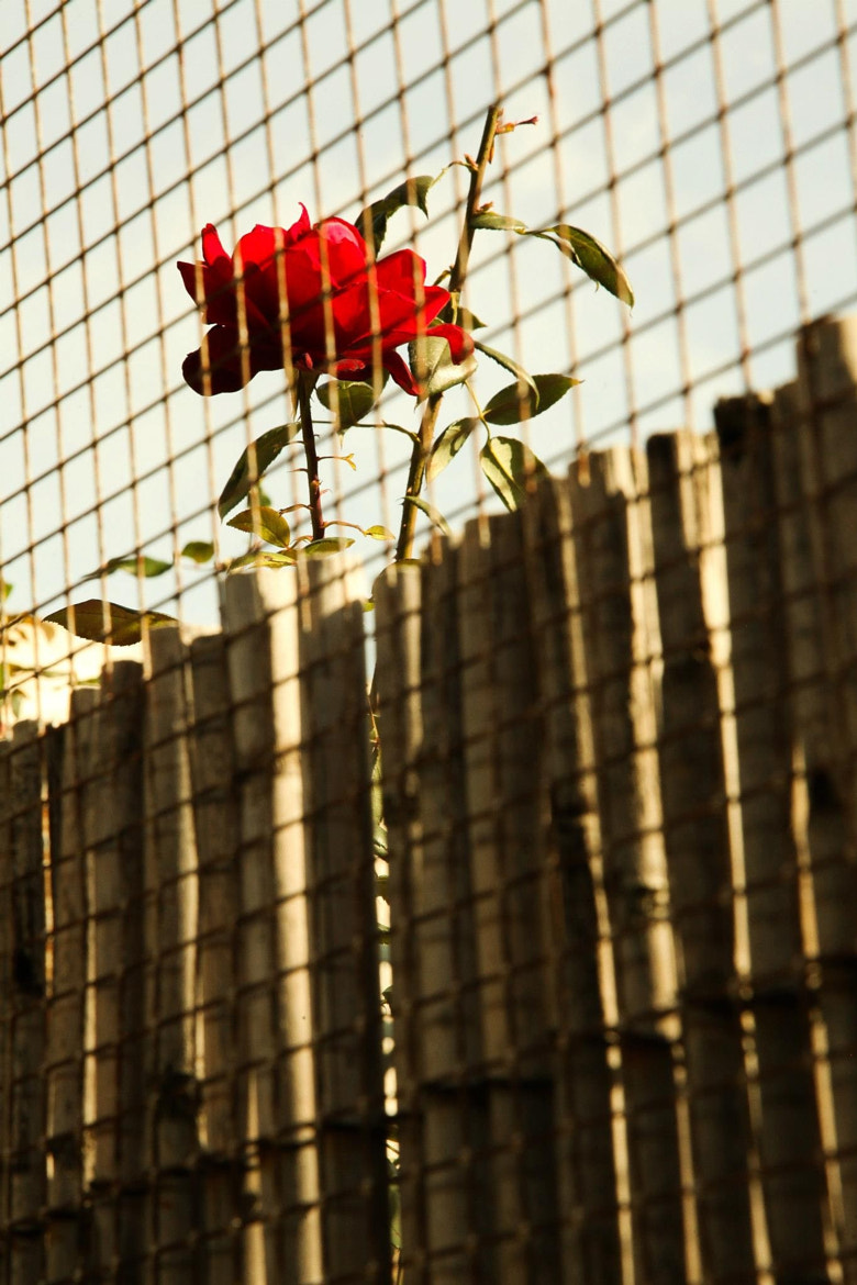 Photograph Fenced Rose by Sheldon Steere on 500px