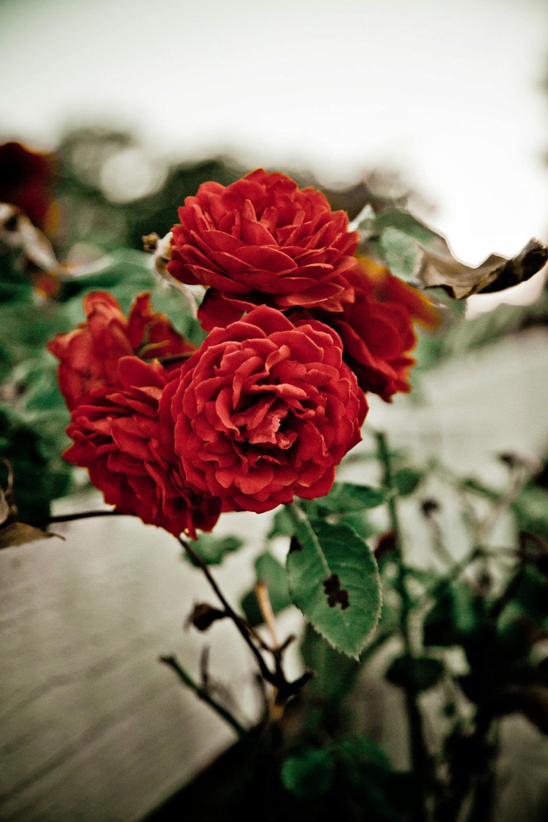 Photograph Roses on the Fence by Sheldon Steere on 500px