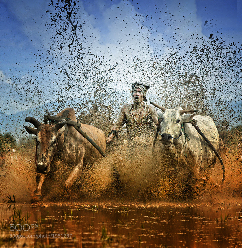 Photograph Pacu Jawi (cow racing) by Ayie  Permata Sari on 500px