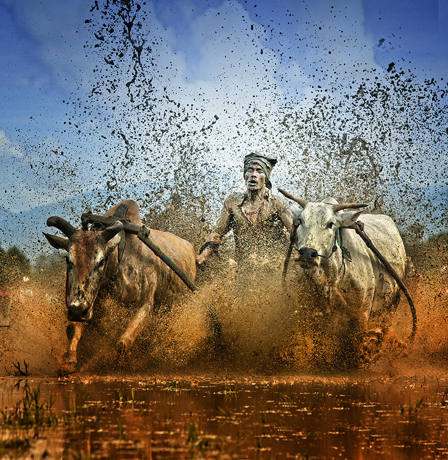 Photograph Pacu Jawi (cow racing) by Ayie  Permata Sari on 500px