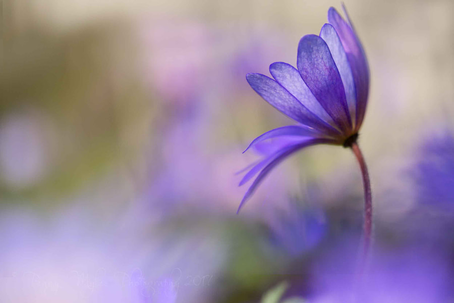 Winter Windflower by Penny Myles on 500px.com