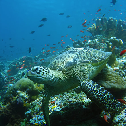 reef turtle, Canon POWERSHOT SD700 IS