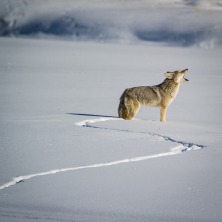 Coyote calling the pack, Nikon D3S, AF-S VR Nikkor 600mm f/4G ED