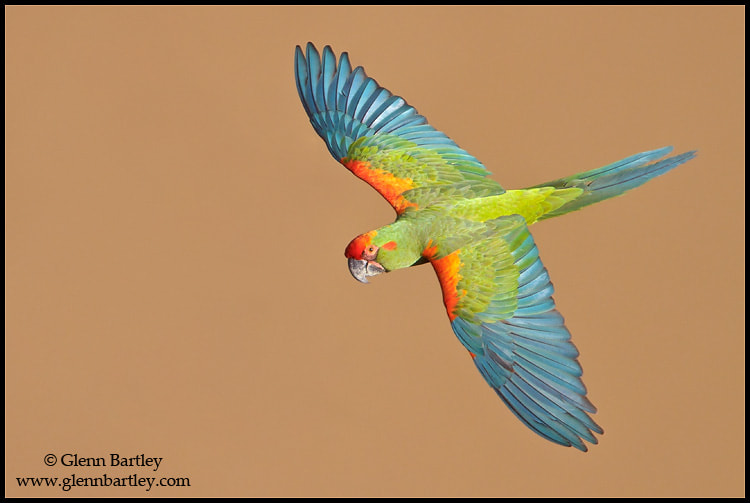 Photograph Red-fronted Macaw (Ara rubrogenys) by Glenn Bartley on 500px