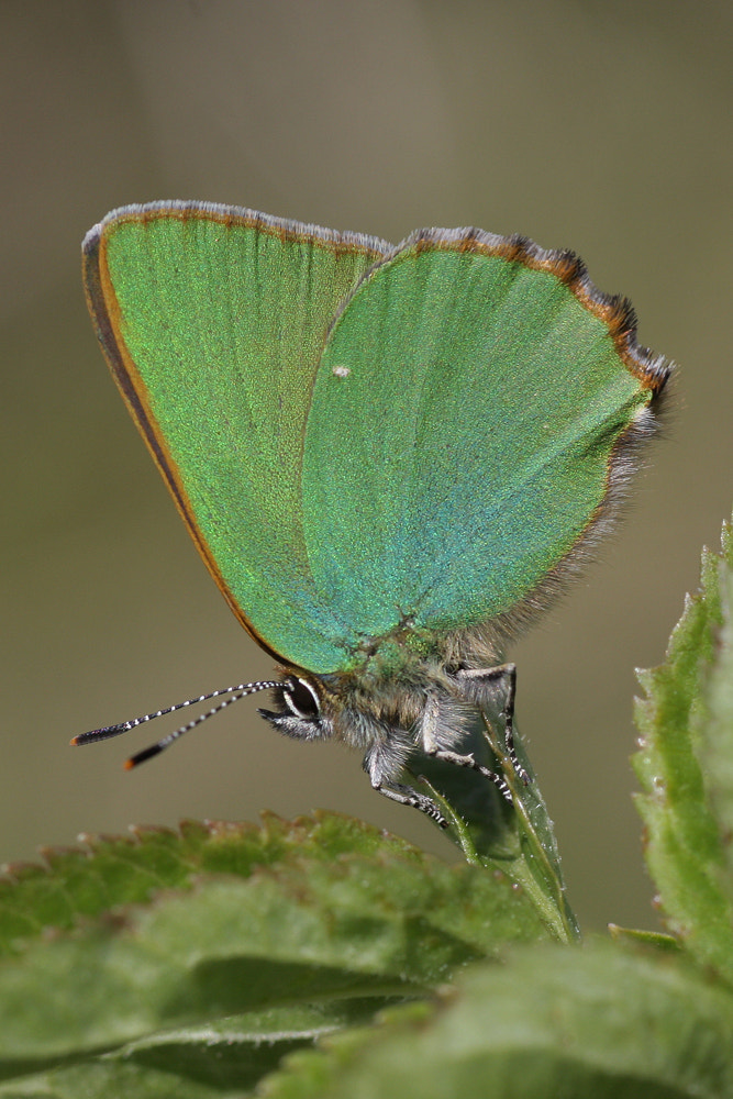 Photograph Green hairstreak (callophrys rubi) by Neil Smith on 500px