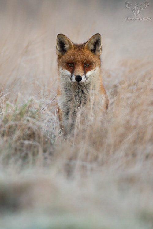 Photograph morning fox by Peter Kralik on 500px