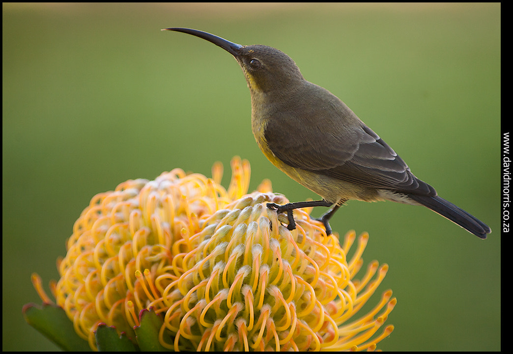Photograph renamed - Sunbird by Dave Morris on 500px