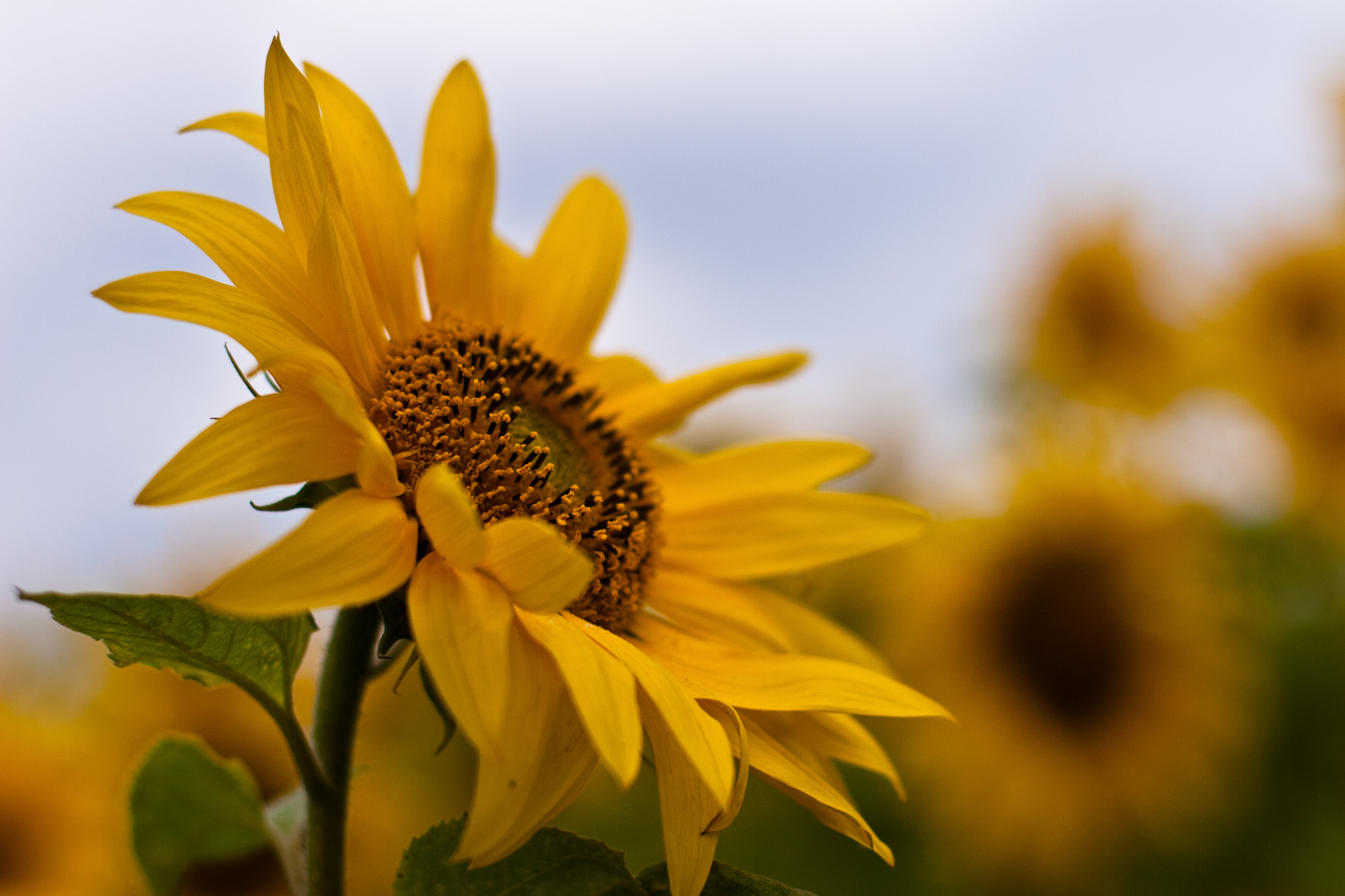 Photograph Sunflowers of Nakagusuku by David Edenfield on 500px