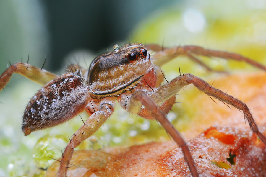 Photograph the water spider  by Tele Nicotin on 500px
