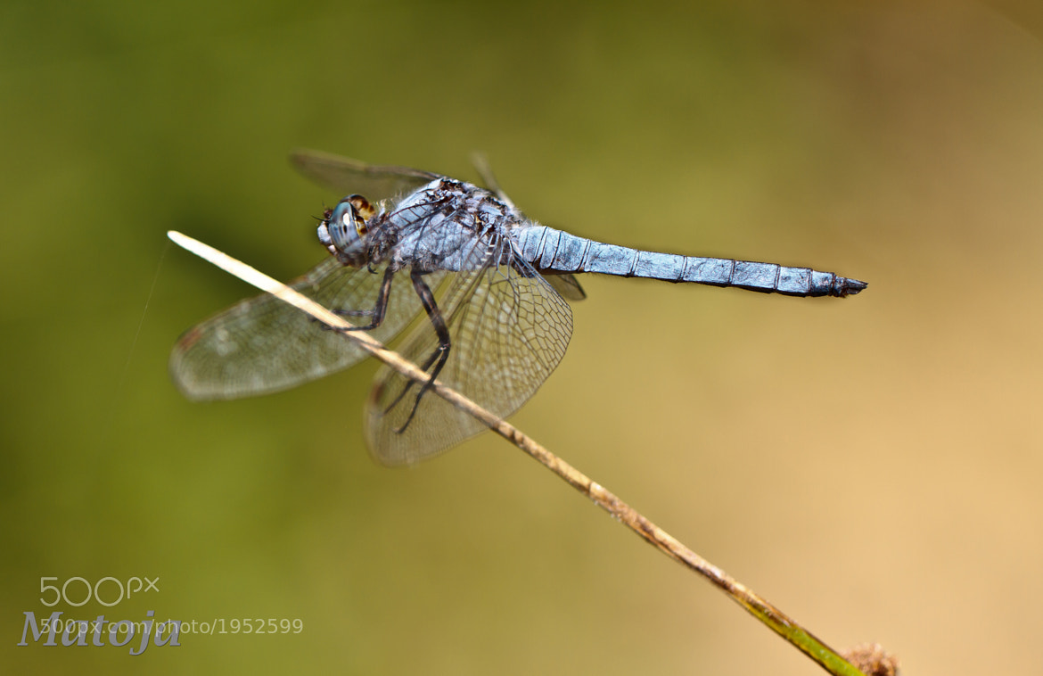 Photograph Orthetrum Brunneum by Matoja . on 500px