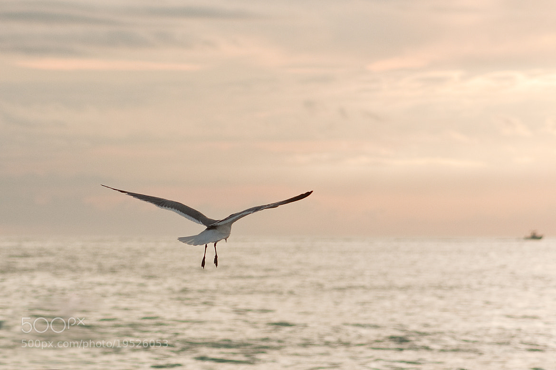 Photograph Gull 7 by Mae Davis~MDavis Photography on 500px
