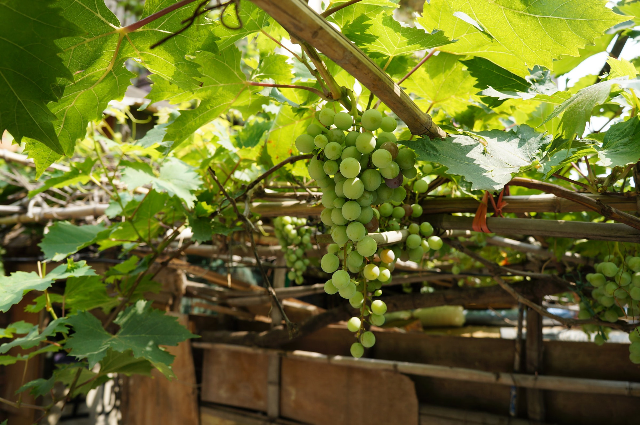 Photograph Unripe Grapes by Mu Cheng on 500px