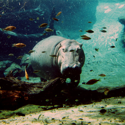 Hippo swimming, Canon POWERSHOT A490